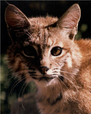 Aiko the bobcat, Folsom City Zoo Sanctuary - M. Mussell