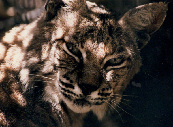 Bobcat, Folsom City Zoo Sanctuary - M.Mussell