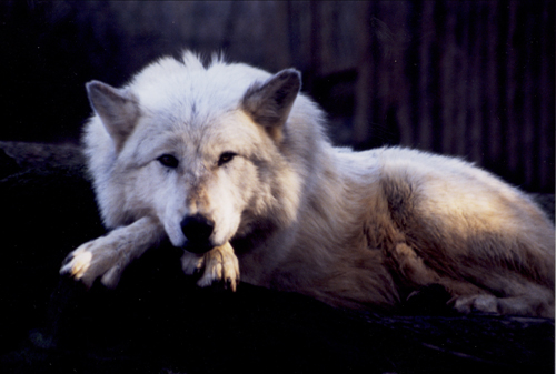 Sage the wolf, Folsom City Zoo Sanctuary - M. Mussell