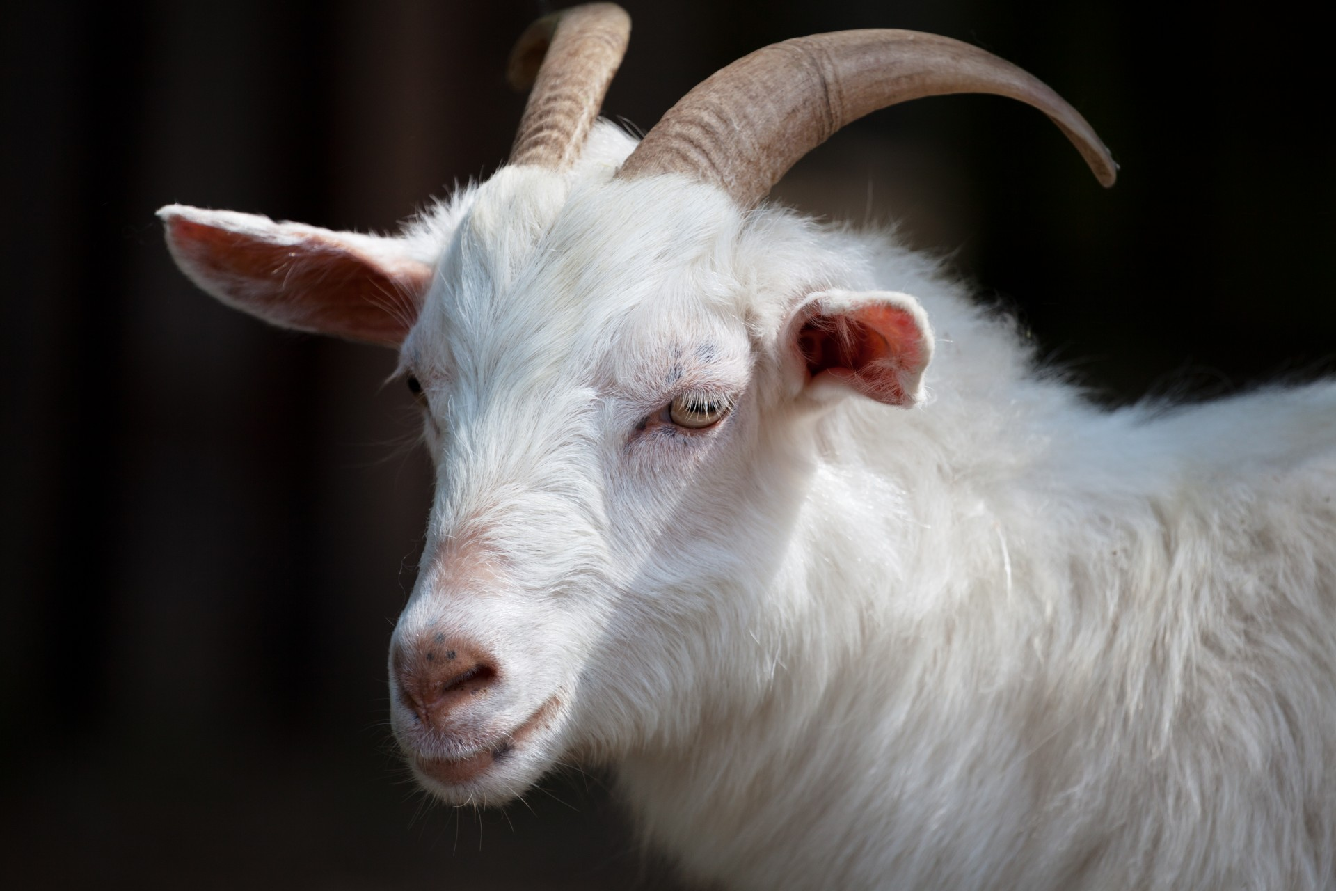 white-goat-pd