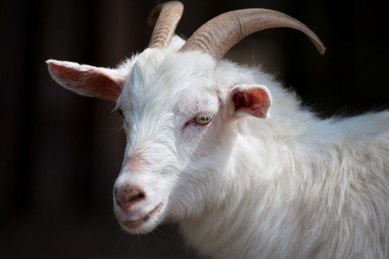white-goat-pd