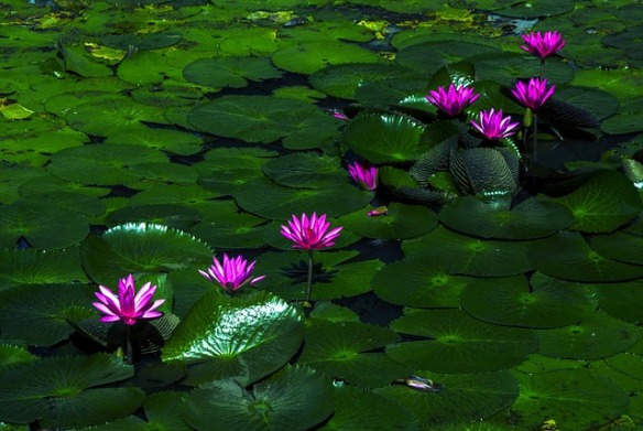 Lotus flowers. Public domain.